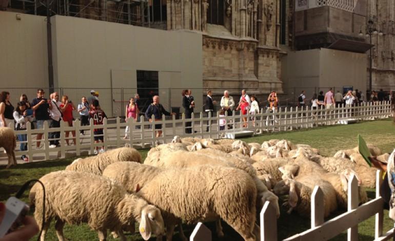 Arrivano le pecore in piazza Duomo