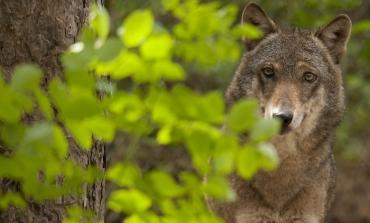 Etro con Wwf per proteggere il lupo